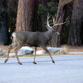 Yosemite Tour Groups - Deer
