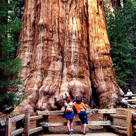 Yosemite National Park - Giant tree